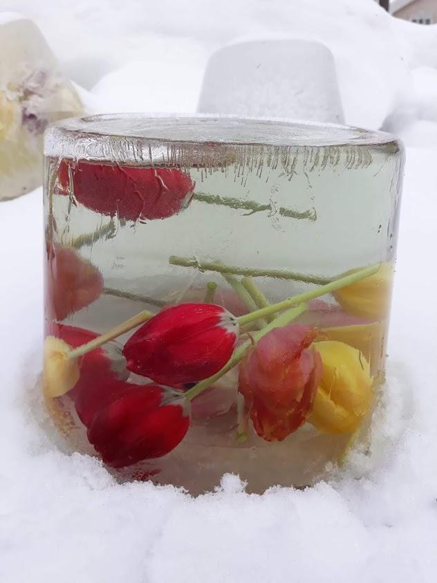 Jäätyneet tulppaanit